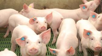 Con pulseras inteligentes, monitorean la salud de los cerdos
