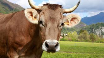 Trabajan para lograr mejoramiento genético en el ganado