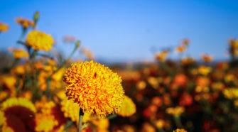 China produce más flor de cempasúchil que México