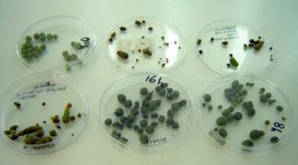 Científico mexicano crea micropapas a favor de los productores