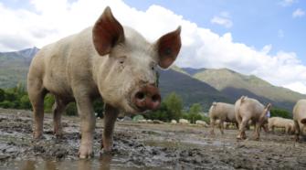 Norteamérica busca eficiencia en prevención de peste porcina africana