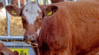 Establecen control sanitario para entrada legal de bovinos de Centroamérica