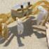Realizan estudio para el aprovechamiento comercial del cangrejo azul