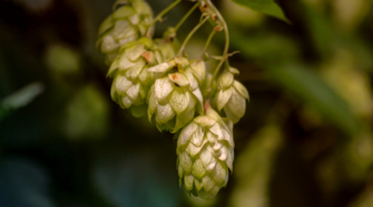 Resulta exitoso tratamiento alternativo en leguminosas y lúpulo